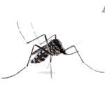 Zanzara Coreana in Italia resiste al freddo, foto e come difendersi